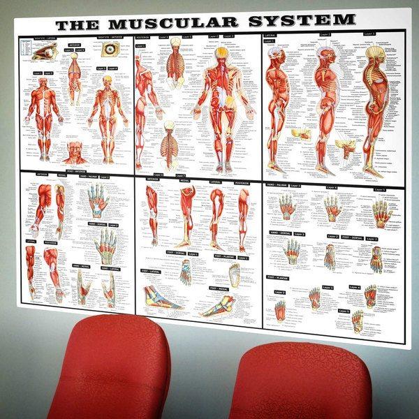 Vinilos Decorativos: El sistema muscular