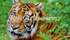fotomurales-tigre-2