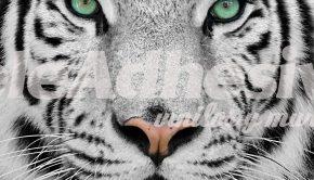 fotomurales-white-tiger