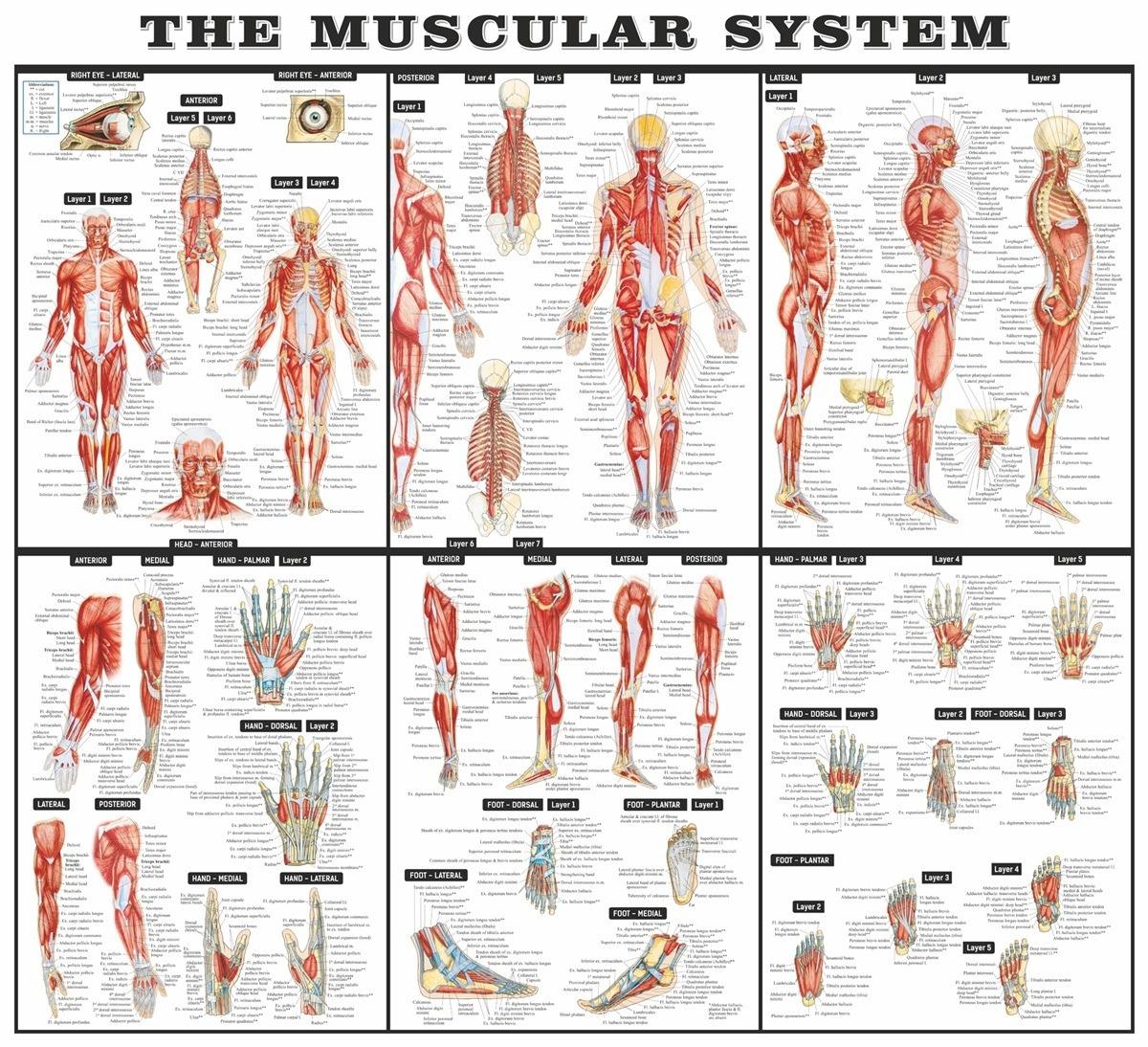 Vinilos infantiles del sistema muscular en Teleadhesivo
